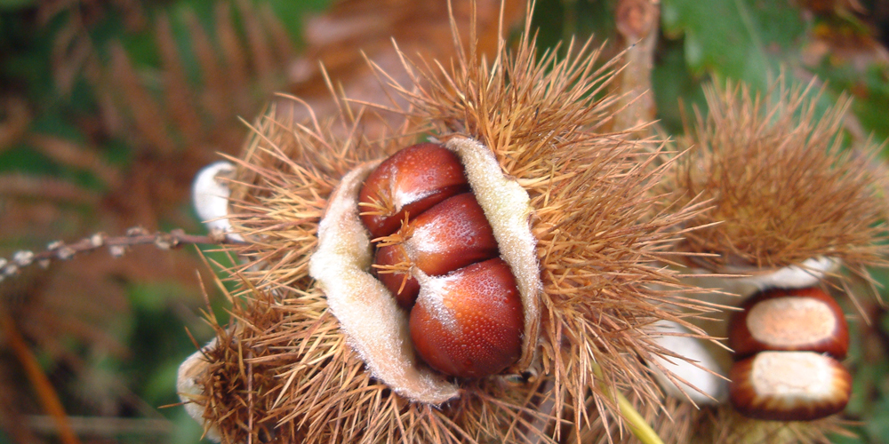 Chestnuts - Copyright David Griffith 2013
