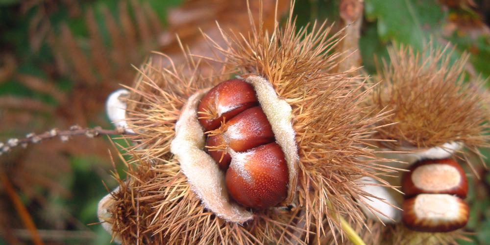 Chestnuts1000x500